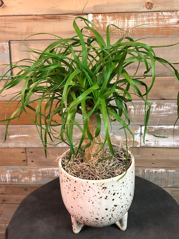 "6"" Ponytail Palm in Speckle Pot"