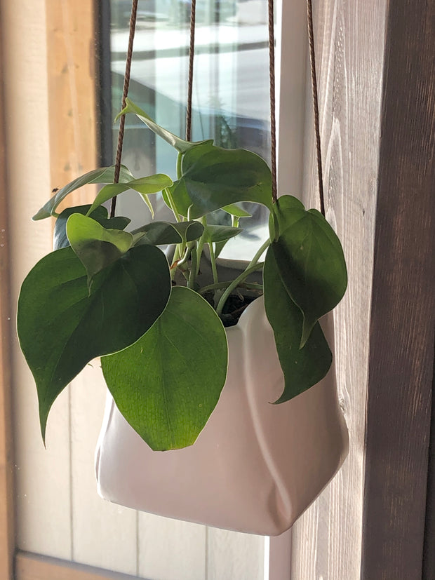 Heart Leaf Philo in Folded Hanging Pot