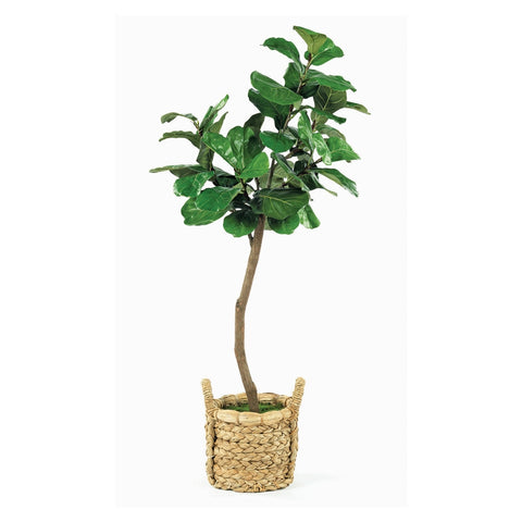 Kit Fig Tree