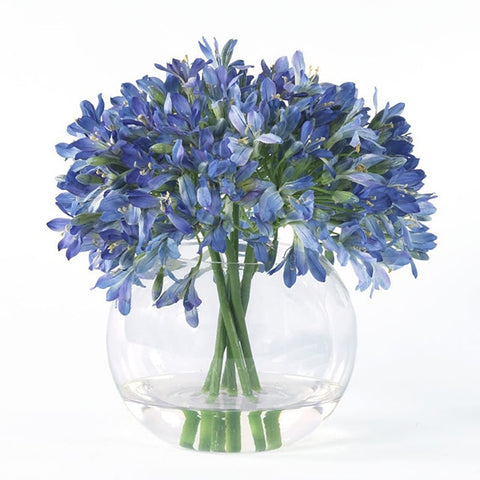 Blue Agapanthus in Glass Bowl