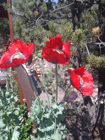 Poppy, Assorted Flower Mix - High Ground Gardens