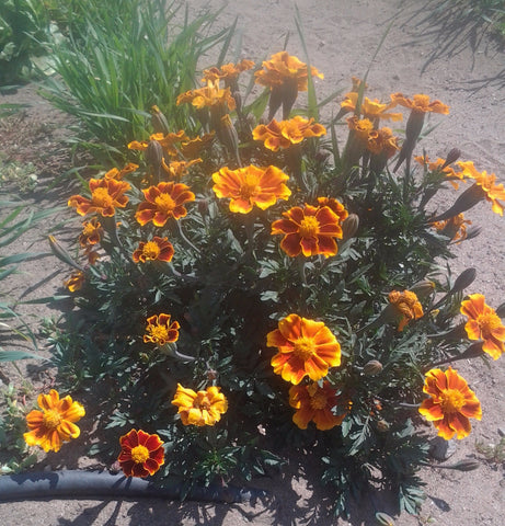 Marigold, Bi-Color - High Ground Gardens