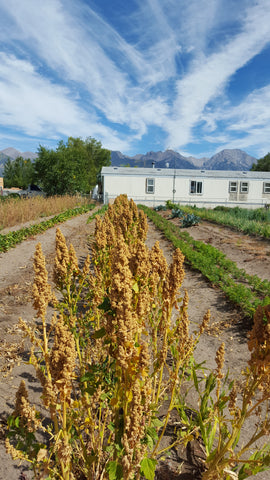 Quinoa, Blanca - High Ground Gardens