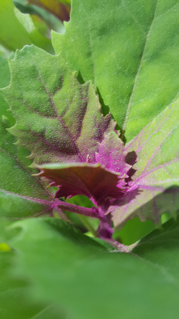 Magenta Spreen Lambs Quarters - High Ground Gardens