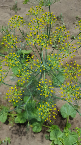 Dill, Moffat - High Ground Gardens