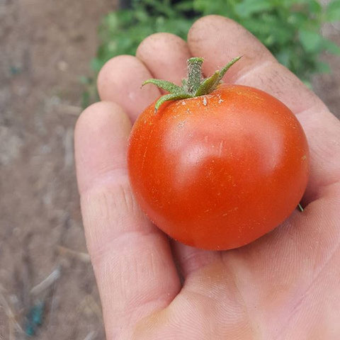 Tomato, Sasha's Altai - High Ground Gardens