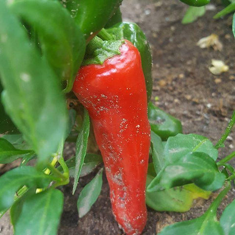 Pepper, Tesuque - High Ground Gardens