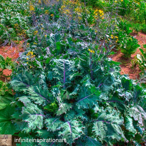 Kale, Red Russian - High Ground Gardens