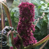 Amaranth, Burgundy Grain
