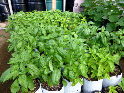 Basil, Genovese - High Ground Gardens