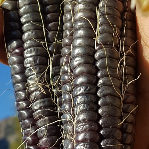 Corn, Black Aztec