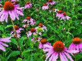 Echinacea Purpurea - High Ground Gardens
