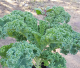 Kale, Green Siberian - High Ground Gardens