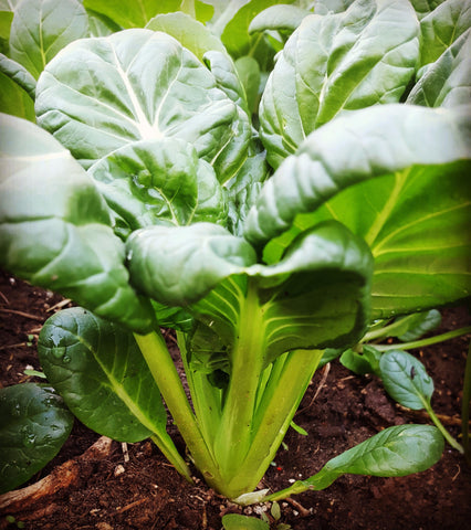 Bok Choy - High Ground Gardens