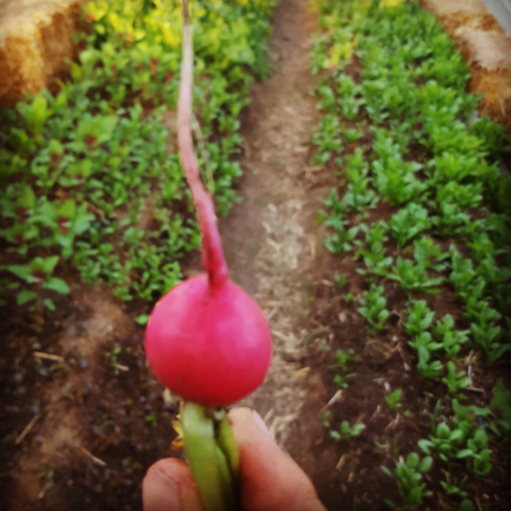 Radish, Pink Beauty - High Ground Gardens