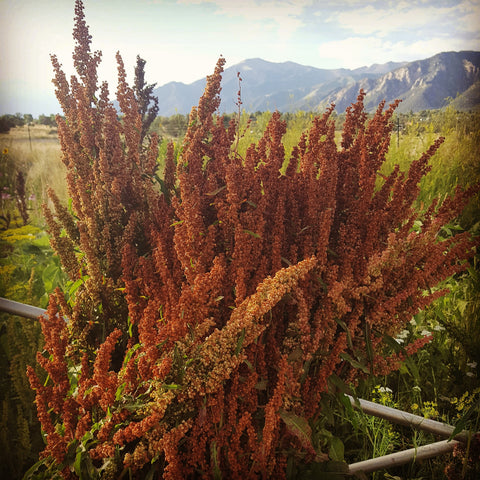 Golden Giant Amaranth