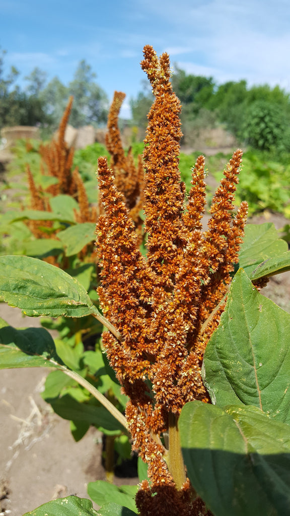 Amaranth, Orange Giant - High Ground Gardens