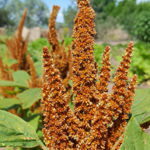 Amaranth, Orange Giant