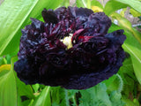 Poppy, Black - High Ground Gardens
