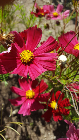 Cosmos, Rubenza - High Ground Gardens