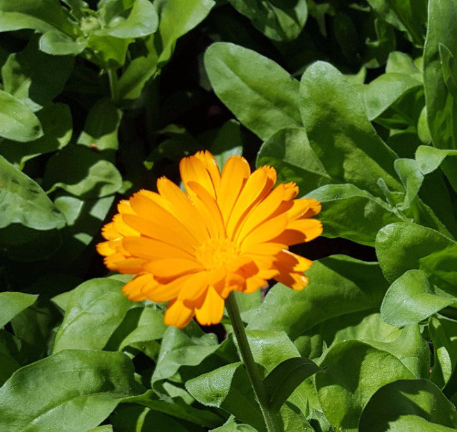 Calendula, Resina - High Ground Gardens