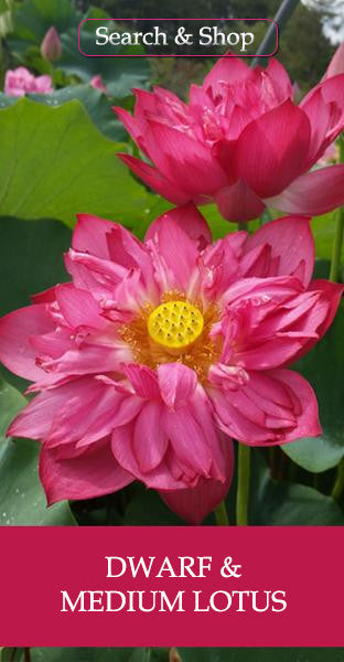 Dwarf & Medium Pond Lotus
