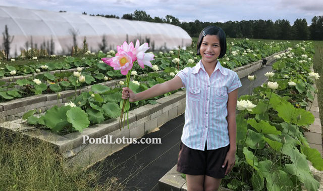 Lotus 101 Learn How To Grow Nelumbo Pondlotuscom A Pond