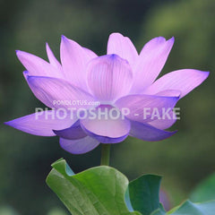 Blue_Lotus_Photoshopped_No_Such_plant