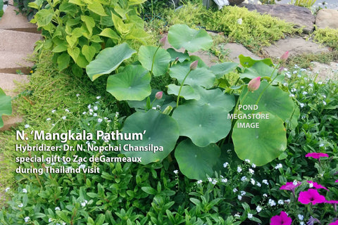 Lotus_Growing_Outside_A_Pond_In_A_Garden