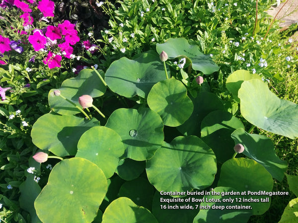 Exquisite_Of_Bowl_Dwarf_lotus_Pond_Megastore_2016_nelumbo_Garden