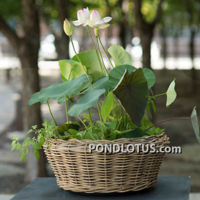 Exquisite of Bowl Lotus Dwarf Sacred Pond Lotus Bua Flower