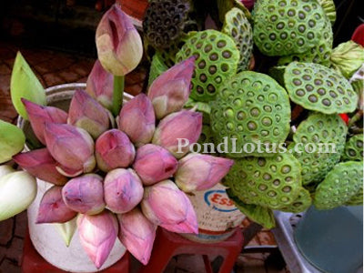 Lotus_Flowers_Buds_Seedpods