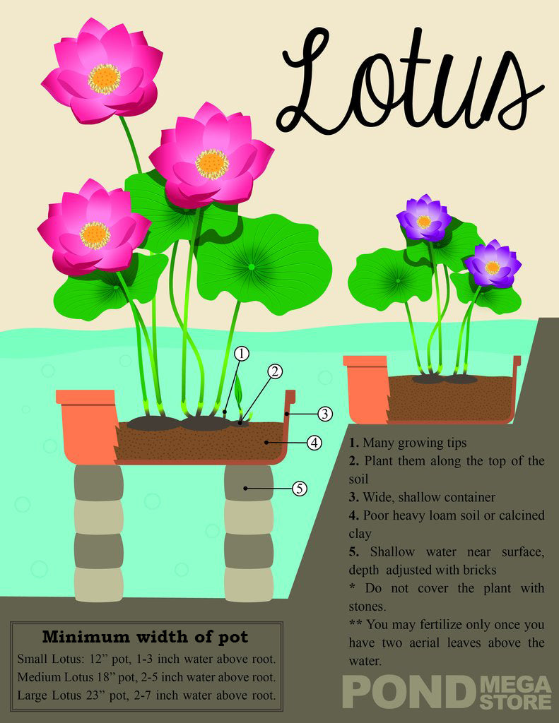 How to Plant a Lotus Flower