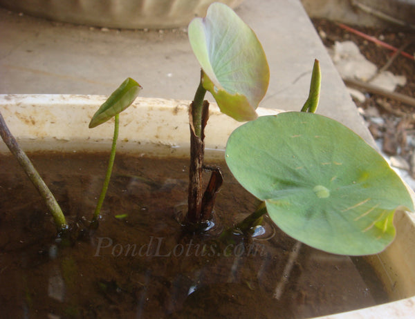 How To Grow Sacred Lotus From Seed Pondlotuscom A Pond Megastore