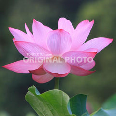 Original_Lotus_Flower_Photo_True_lotus