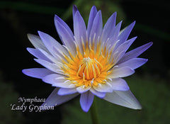 Other_Waterlily_Blue_Hybrid_Right