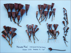 Peewee Pink Lotus Pods from one season