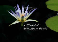 Nymphaea_Caerulea_Blue_Lotus_Of_Nile_Waterlily_image