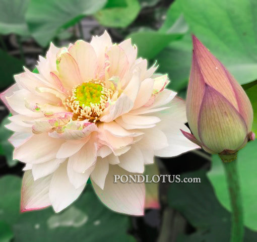A Fortune in Flowers Lotus   <br> Heavy Bloomer!  <br> Reserve Lotus Varieties ASAP for 2020! - PondLotus.com