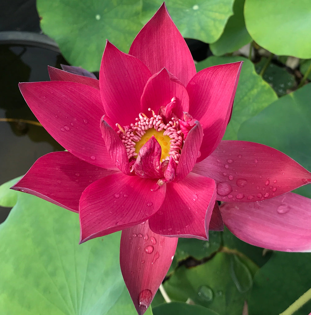 Ancient Capital New Beauty Lotus <br> Reserve Lotus Varieties ASAP for 2020! - PondLotus.com