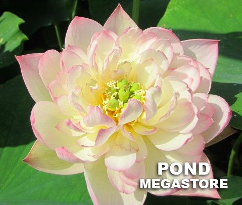 Apricot Pink Lotus  <br>  Customer Favorite! <br> Reserve Lotus Varieties ASAP for 2020! - PondLotus.com
