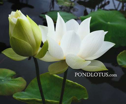 Baby Doll Lotus <br> Reserve Lotus Varieties ASAP for 2020! - PondLotus.com