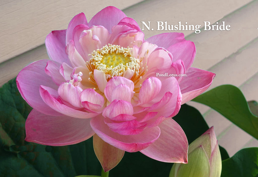 Blushing Bride Lotus  <br>  Tall, Elegant Lotus!  <br> Reserve Lotus Varieties ASAP for 2020! - PondLotus.com