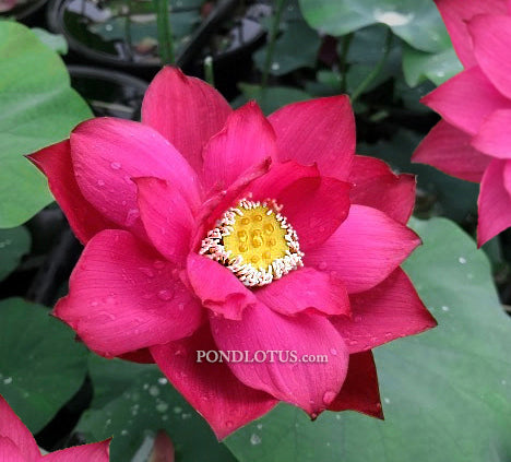 Chinese Red Zunyi Lotus  <br> Early Bloomer-Heavy Bloomer  <br> Reserve Lotus Varieties ASAP for 2020! - PondLotus.com