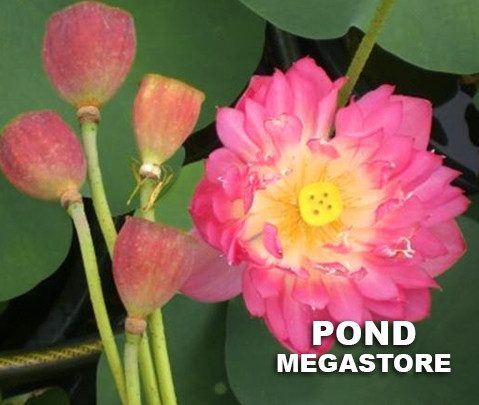 Crab Claws Red Lotus  (Xiezhua Hong) <br> Reserve Lotus Varieties ASAP for 2020! - PondLotus.com