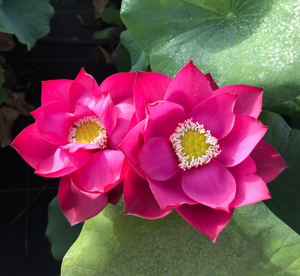 Cuddlin' Caroline Lotus (T20)  <br>  Lovely Lotus Blooms!  <br> Reserve Lotus Varieties ASAP for 2021!
