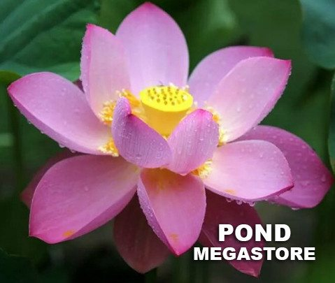 Deacon DeGarmeaux Lotus <br> Reserve today for Spring 2020 - PondLotus.com
