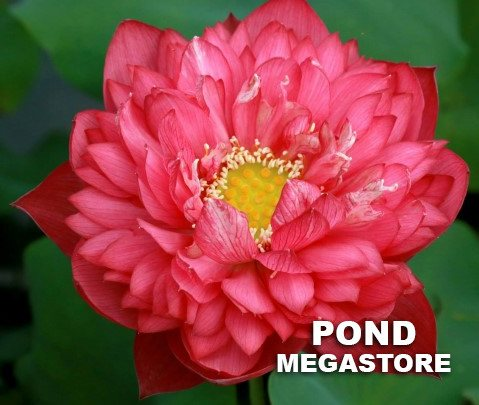 Deepest Loving Lotus <br>  Lovely Lotus Flowers! <br> Reserve Lotus Varieties ASAP for 2020! - PondLotus.com