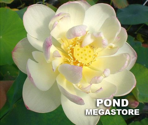 Dense Dew Lotus <br>    Heavenly Blooms! <br> Reserve Lotus Varieties ASAP for 2020! - PondLotus.com