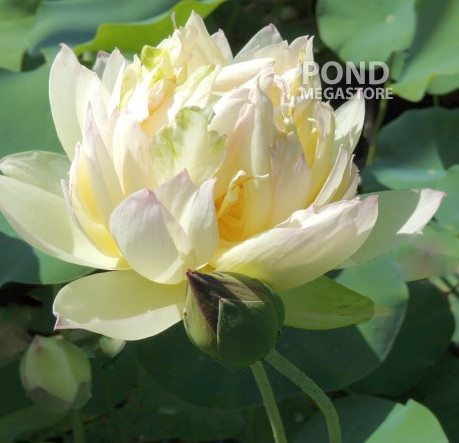 East Dawn Lotus (Dong Xiao)  <br>  Luscious Blooms! <br> Reserve Lotus Varieties ASAP for 2020! - PondLotus.com